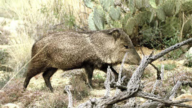 Javelinas are vegetarians with poor eyesight, but excellent hearing and sense of smell. (Source: AZGFD.net)
