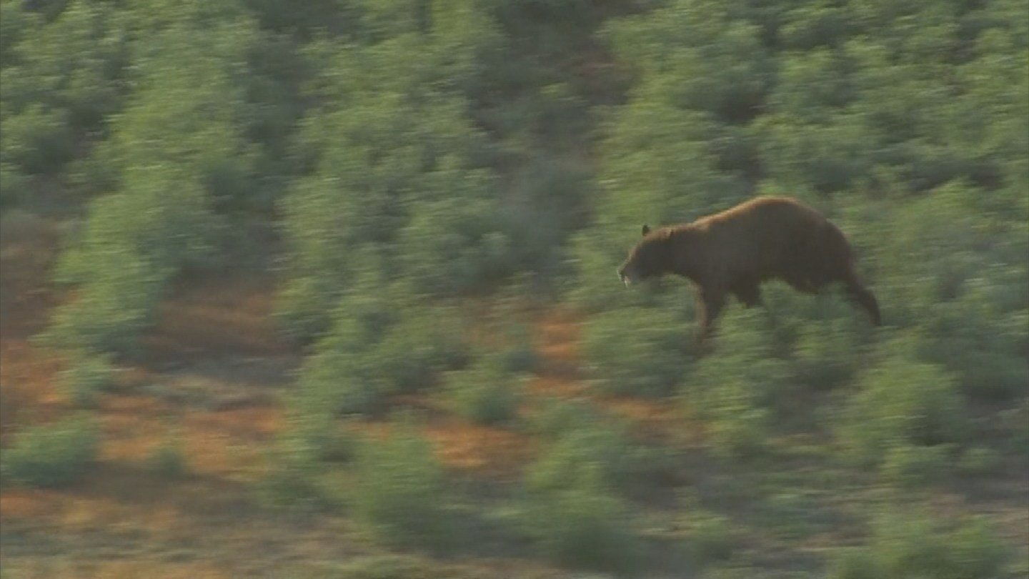 The last bear sighting was in 2014, when a bear led the Arizona Game and Fish Department on quite a chase through some farm fields in Queen Creek. (Source: KPHO/KTVK)
