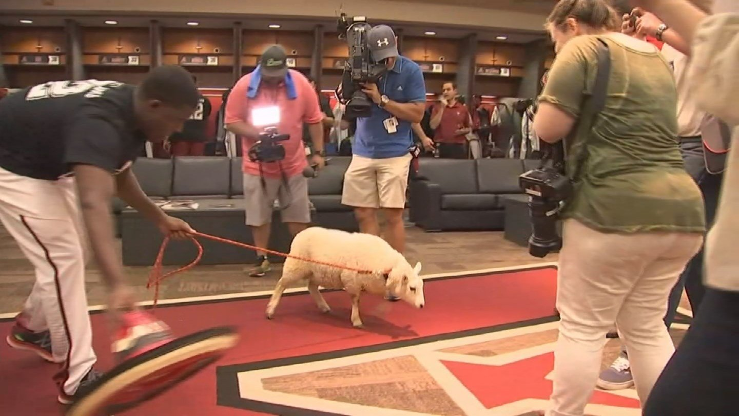 The lamb got a tour of the D-backs clubhouse on Wednesday as the team promotes voting Jake Lamb into the All-Star game. (Source: KPHO/KTVK)