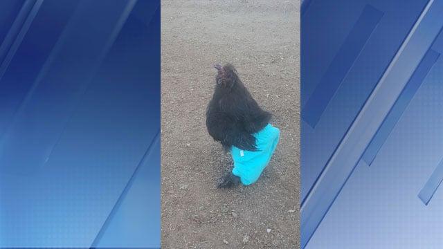 Charlie the chicken wearing blue shorts in Prescott Valley, AZ (Source: Debra Snodgrass / Facebook)