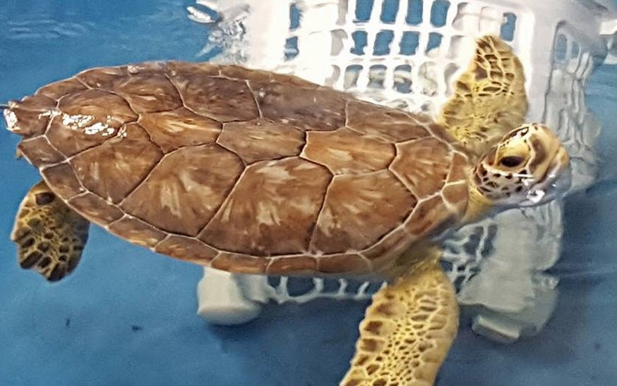 Valor the sea turtle is headed to Scottsdale (Source: Viewer photo)