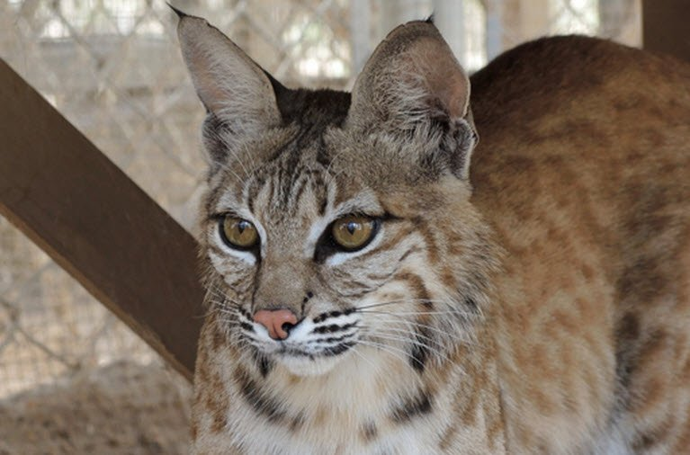 New bobcat foster mom, Dizzy (Source: Southwest Wildlife Conservation Center)