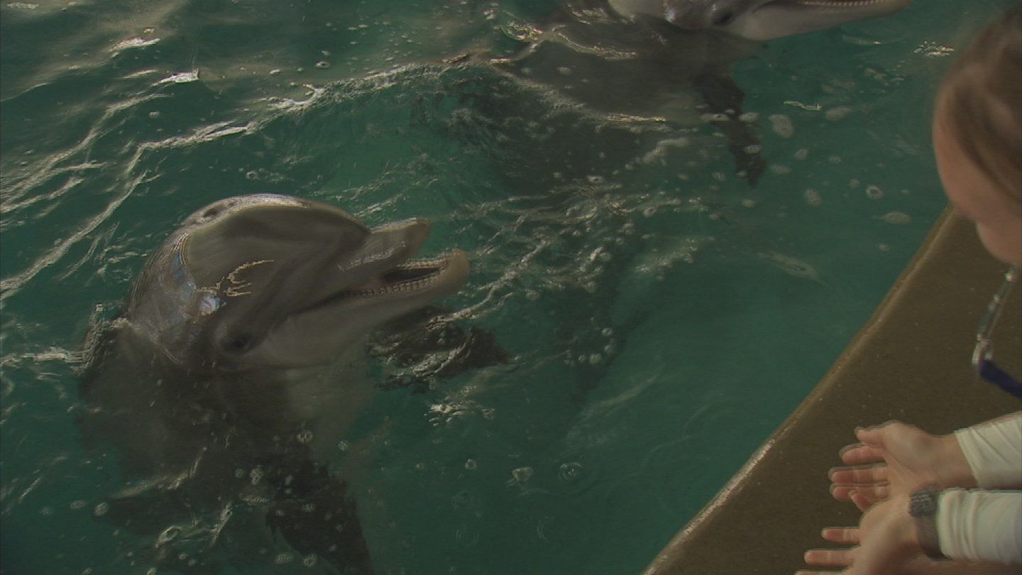 There will be up to 12 dolphins at Dolphinaris. (Source: KPHO/KTVK)