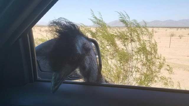 Emu seen running on Interstate 10 near Phoenix