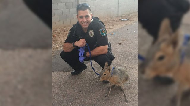Officer Joseph Procopio with Olivia the Patagonian mara (Source: Glendale Police Dept. via Facebook)