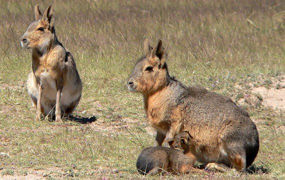 Mara pair with young (Source: Wikipedia)