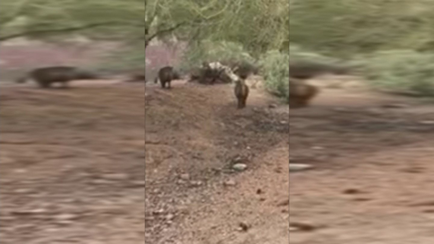 A pack of wild javelina wasroaming the neighborhood, stopping for a bite each time they passed by a cactus. (Source: 3TV/CBS 5)