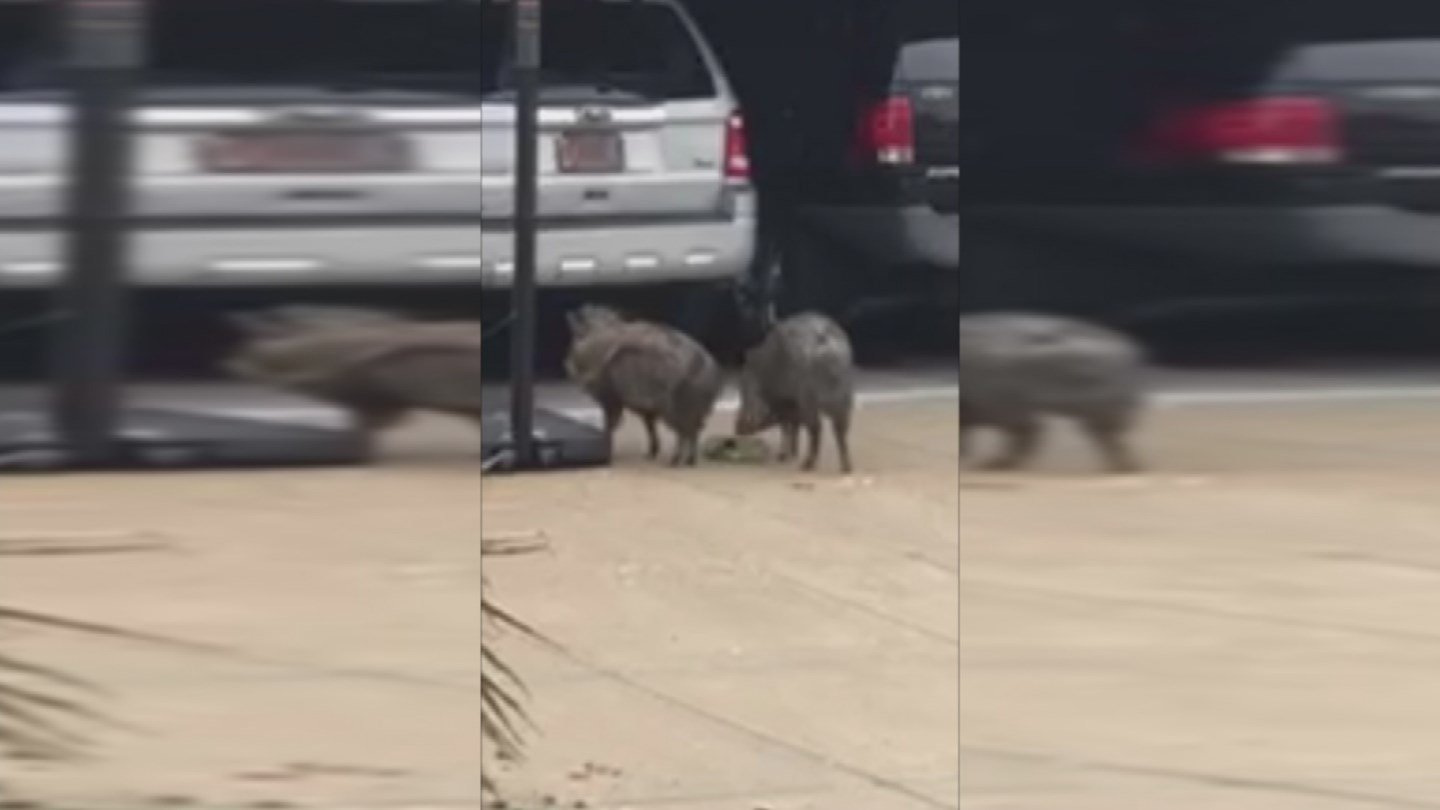 The javelina did not seem to mind Johnson getting up close and personal with them. (Source: 3TV/CBS 5)