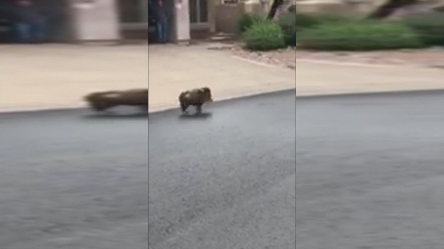 Javelina are not to be messed with. (Source: 3TV/CBS 5)