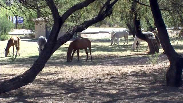 The Forest Service contends that the wild horses are actually escaped livestock. (Source: KPHO/KTVK)