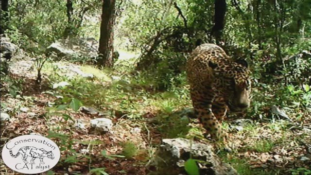 Jaguar seen roaming around a creek and other parts of a mountain range just south of Tucson (Source: Center for Biological Diversity and Conservation CATalyst)