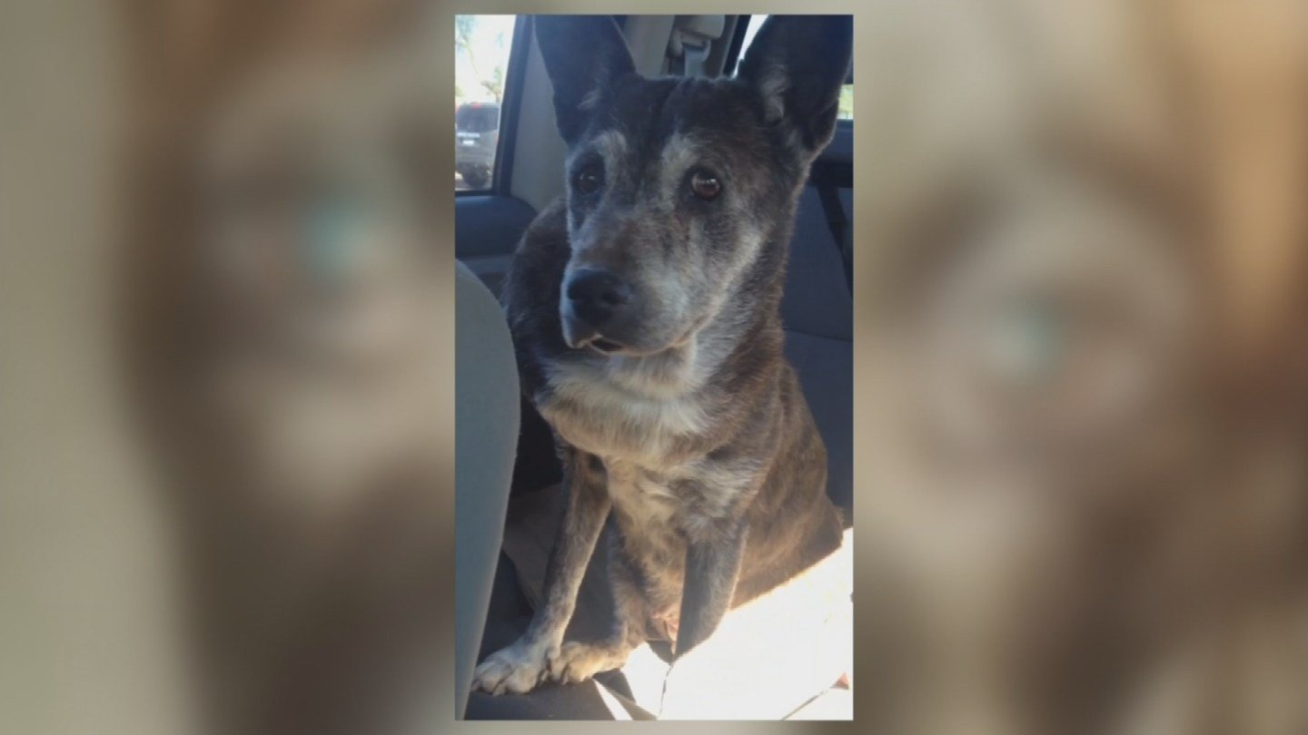 Roxie, an 18-year-old pit bull-shepherd mix, escaped from her family's backyard and was taken to Maricopa County Animal Care and Control. (Source: KPHO/KTVK)