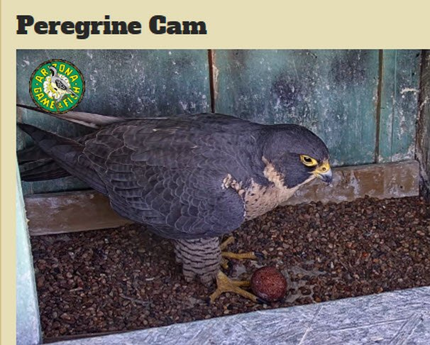 First peregrine falcon egg visible in downtown phoenix for Az game fish