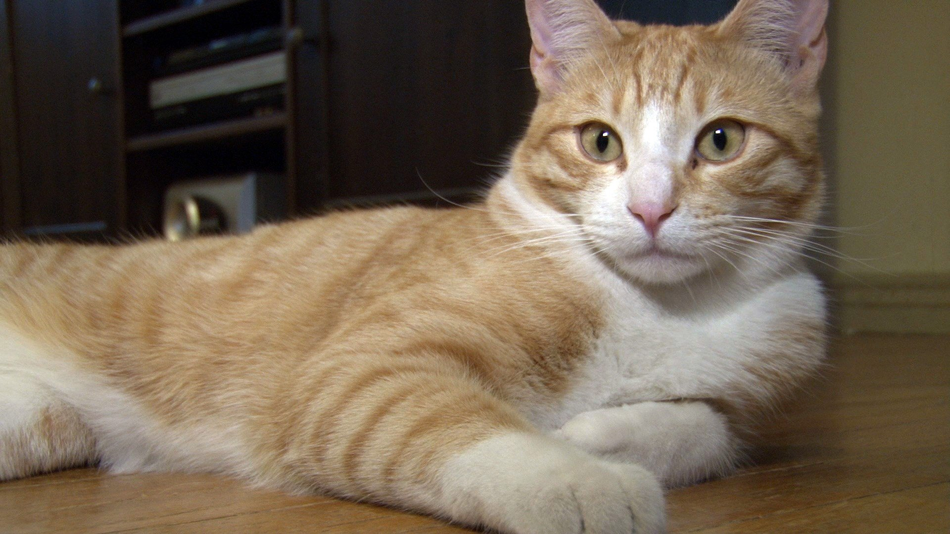 The parasite Toxoplasma gondii is commonly found in cats and transferred to humans through their feces