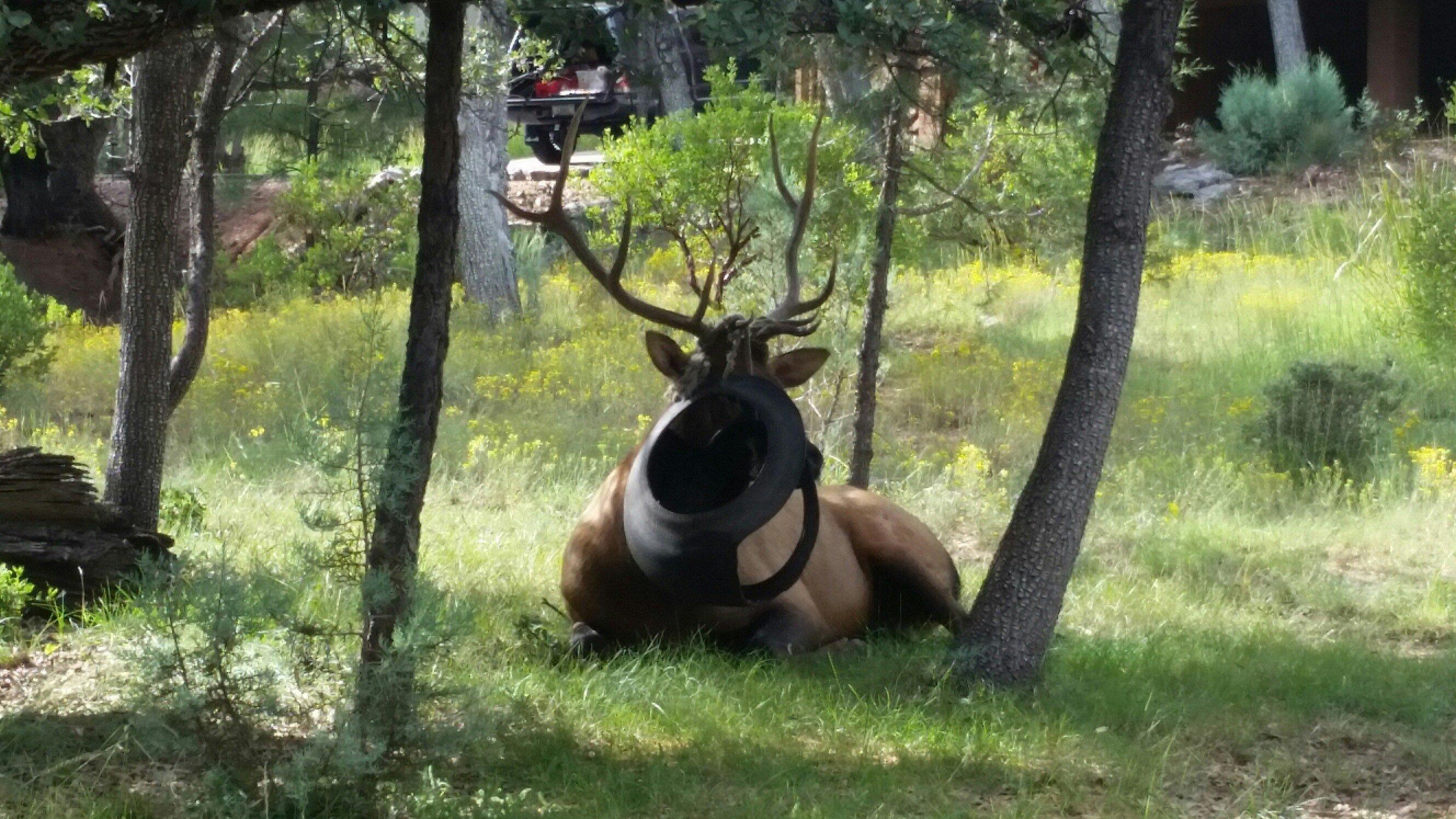elk snagged in tire swing roams into az veterinarian u0027s yard