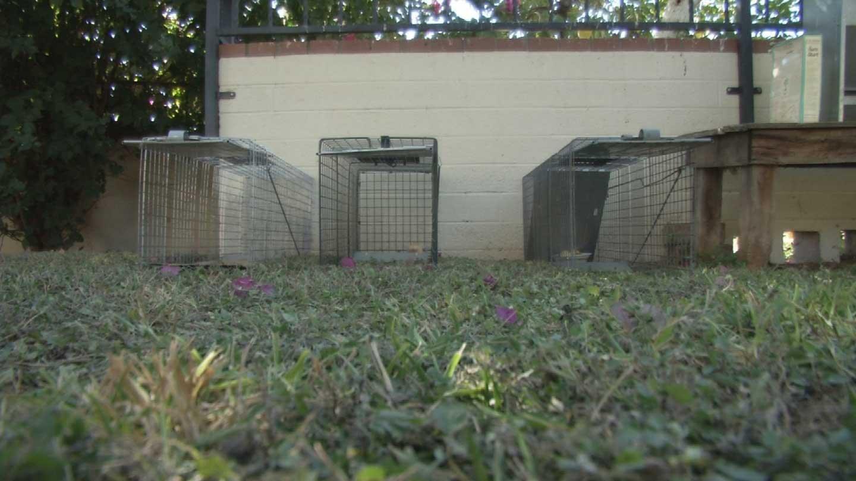 raccoon sightings surprise residents in phoenix neighborhood