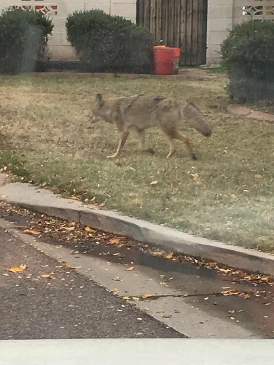 Coyotes making themselves comfortable in central phoenix for Az game and fish dept