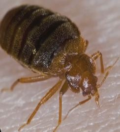 Valley tenants homeowners push for tougher bed bug laws for Bed bug laws