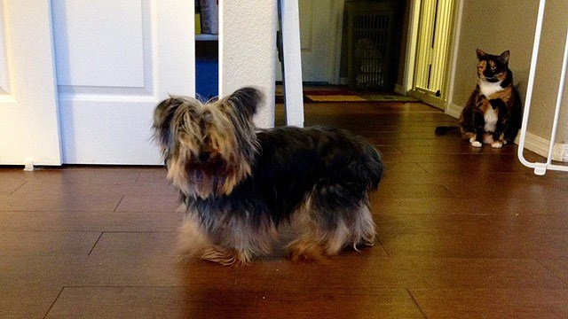 Small dog rescue needs help caring for 15 neglected Yorkies